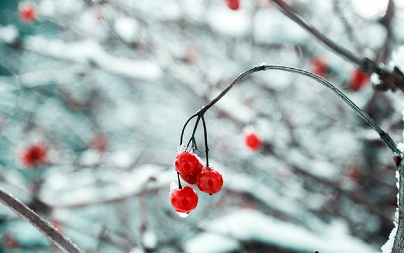Frozen Berries In Memoriam